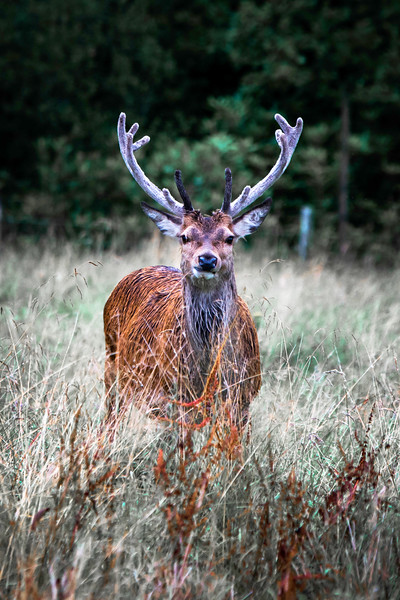Glen Etive Stag (Large) - Spectacular Edinburgh Photography